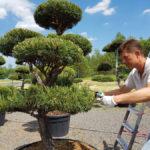 Údržba zahradních bonsají