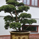 074 - Borovice kleč 'Gnom' - Mníšek pod Brdy