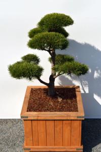 1004 1 Borovice lesní - Pinus sylvestris