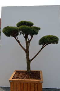 1012 1 Borovice lesní - Pinus sylvestris