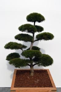 1024 1 Borovice kleč - Pinus mugo