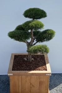 1025 1 Borovice lesní - Pinus sylvestris