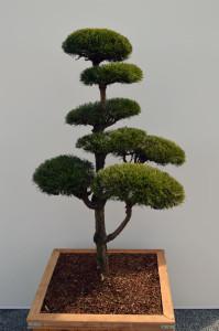 1028-1 - Borovice lesní - Pinus sylvestris