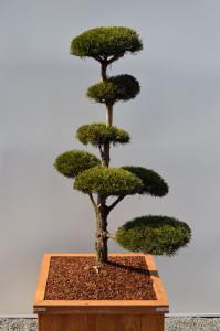 1044 1 Borovice lesní - Pinus sylvestris