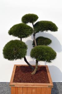 1051 1 Borovice kleč - Pinus mugo