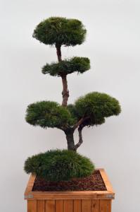 1053 1 Borovice lesní - Pinus sylvestris