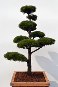 1062 1 Borovice lesní - Pinus sylvestris