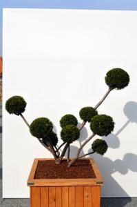 1064 1 Tis japonský - Taxus cuspidata 'Farmen'