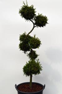 1065 1 Kryptomerie japonská - Cryptomeria japonica 'Rasen'
