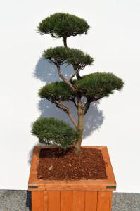 1068 1 Borovice lesní - Pinus sylvestris