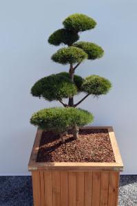 1073 1 Borovice lesní - Pinus sylvestris