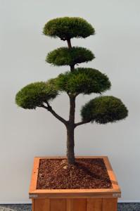 1074-1 - Borovice lesní - Pinus sylvestris