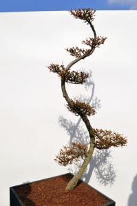 1076-4 - Modřín japonský - Larix kaempferi