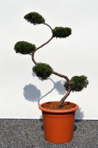 1077-1 - Jalovec viržinský - Juniperus virginiana 'Grey Owl'