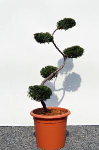 1077-4 - Jalovec viržinský - Juniperus virginiana 'Grey Owl'