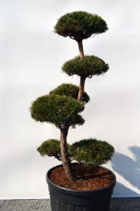 1080-1 - Borovice lesní - Pinus sylvestris