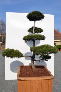 1083-1 - Borovice černá pravá - Pinus nigra nigra