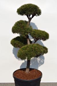 1084-1 - Borovice lesní - Pinus sylvestris
