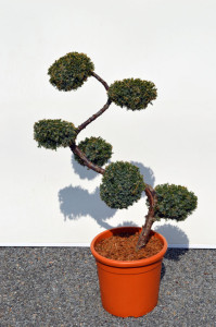 1088-1 - Jalovec čínský - Juniperus chinensis 'Blue Alps'