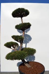 1090-1 - Borovice lesní - Pinus sylvestris