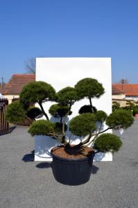1091-1 - Borovice kleč - Pinus mugo mughus