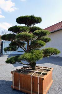 1092-01 - Borovice pokroucená - Pinus contorta