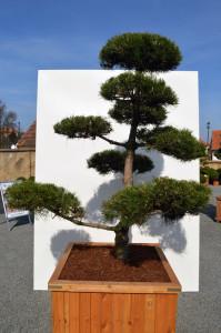 1094-1 - Borovice černá pravá - Pinus nigra nigra