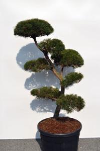 1096-1 - Borovice lesní - Pinus sylvestris