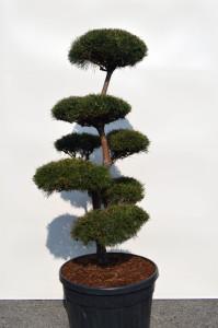 1103-1 - Borovice lesní - Pinus sylvestris