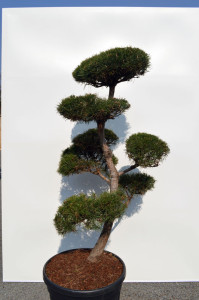 1107-1 - Borovice lesní - Pinus sylvestris