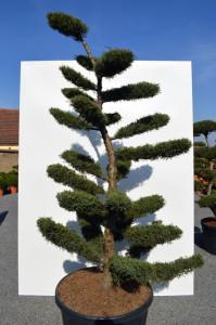 1108-1 - Jalovec prostřední - Juniperus media 'Hetzii'