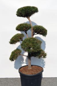 1110-1 - Borovice lesní - Pinus sylvestris