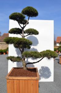 1115-1 - Borovice černá pravá - Pinus nigra nigra
