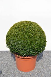 1116-1 - Zimostráz malolistý - Buxus microphylla 'Faulkner'