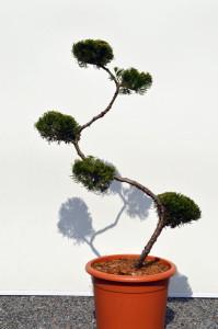 1120-1 - Jalovec čínský - Juniperus chinensis 'Kaizuka'