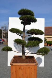 1121-1 - Borovice černá pravá - Pinus nigra nigra