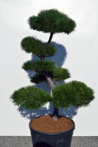 1122 Borovice lesní  - Pinus sylvestris