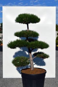 1123 Borovice černá pravá  - Pinus nigra nigra