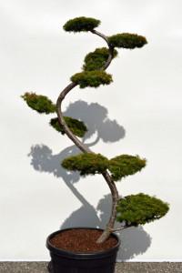 1124 Modřín japonský  - Larix kaempferi