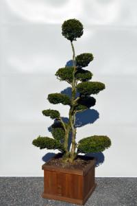 1126 Zimostráz malolistý Buxus microphylla 'Faulkner'