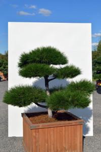 1127 Borovice černá pravá  - Pinus nigra nigra