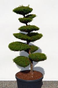 1128 - Kryptomerie japonská - Cryptomeria japonica 'Elegans Viridis'