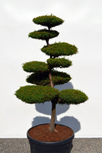 1130 - Kryptomerie japonská - Cryptomeria japonica 'Elegans Viridis'
