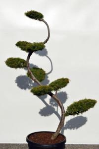 1131 Modřín japonský  - Larix kaempferi