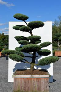 1132 Jalovec prostřední  - Juniperus media 'Hetzii'