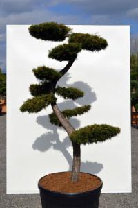 1134 Modřín japonský  - Larix kaempferi