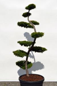 1136 Modřín japonský  - Larix kaempferi