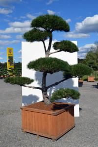 1137 Borovice černá pravá  - Pinus nigra nigra
