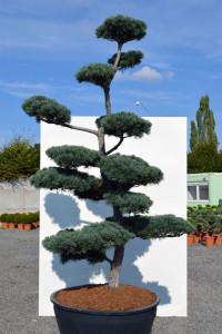 1138 - Borovice drobnokvětá - Pinus parviflora 'Tempelhof'