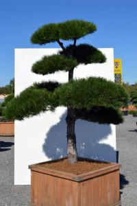 1139 Borovice černá pravá  - Pinus nigra nigra